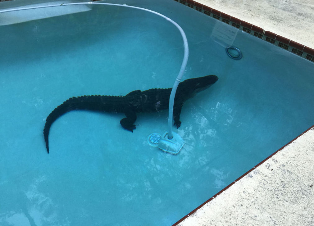 There's A Gator in my Swimming Pool!