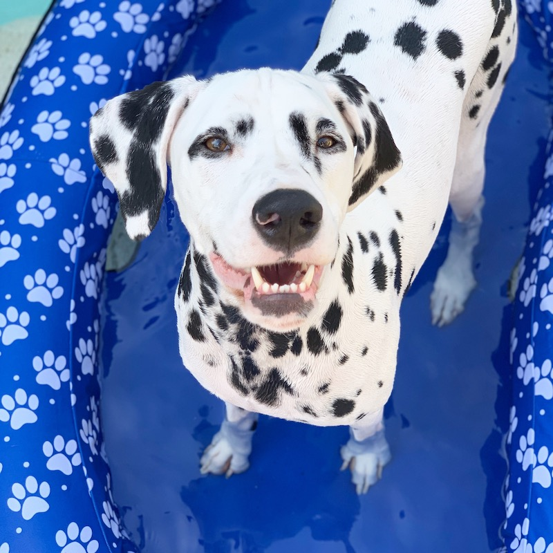 dog swimming pool float jackson dalmatian