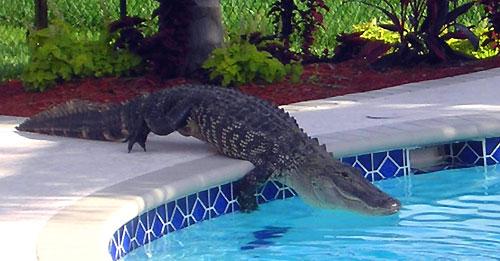 alligator swimming pool